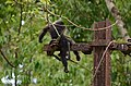 Electrocuted lion-tailed macaque infant in Valparai DSC 2578.jpg