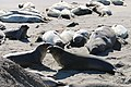 Elephant seals in San Luis Obispo County (15339997556).jpg