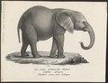 Elephas africanus - 1700-1880 - Print - Iconographia Zoologica - Special Collections University of Amsterdam - UBA01 IZ22000092.tif