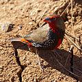 Emblema pictum -Karratha, Pilbara, Western Australia, Australia-8 (3).jpg