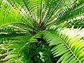 Encephalartos woodii x natalensis02.jpg
