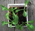 Endive seedlings.jpg