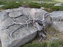 Juniperus sabin mature width