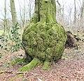 Enormous burr on a beech tree, Anderson Plantation, Lainshaw, Stewarton, East Ayrshire.jpg