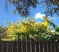 Enredadera verde y amarilla.jpg