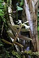 Epidendrum nanosimplex Hágsater & Dodson (1999) — Orchidaceae (30116972511).jpg