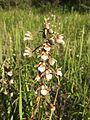 Epipactis palustris (inflorescence).jpg
