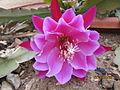 Epiphyllum (4552433180).jpg