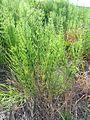 Equisetum arvense 04.JPG