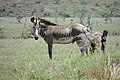 Equus grevyi in Kenya (male).jpg