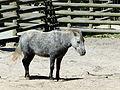 Equus przewalskii, Kraków Zoo.JPG