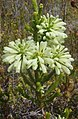 Erica sessiliflora v Berkel 2.jpg