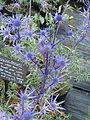 Eryngium bourgattii (14488707755).jpg