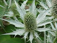 Eryngium giganteum0