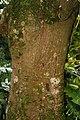 Erythrina poeppigiana 11zz.jpg