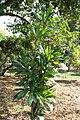 Erythrochiton brasiliensis 6zz.jpg
