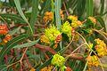 Erythrocorys Branch and Flower.jpg