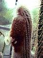 Espostoa mirabilis.jpg