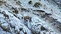 Etagnes et leurs petits au col des Saulces (2371 m) (7).jpg