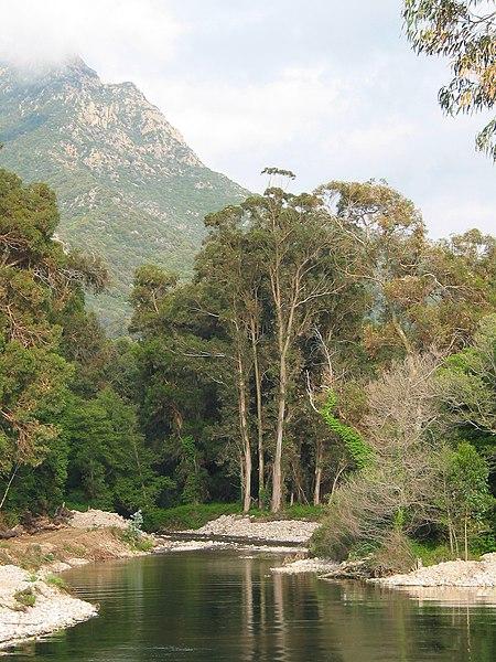 forêt d'eucalyptus en Australie