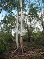 Eucalyptus camaldulensis Troncos 2010-10-10 DehesaBoyaldePuertollano.jpg
