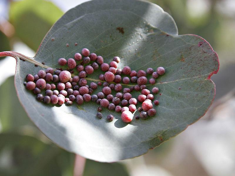 File:Eucalyptus gall.jpg