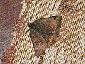 Euclidia glyphica - Burnet companion - Клеверная совка бурая (39055798920).jpg