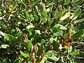 Eucryphia lucida (Leatherwood) fruit.jpg