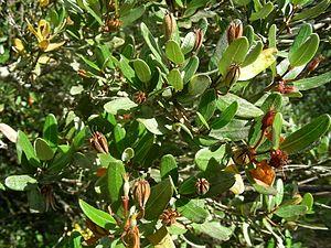 Eucryphia lucida - Opening ripe fruits. Overland Track, Cradle Mountain-Lake St Clair National Park, Tasmania, Australia, 17 April 2013 by Doug Beckers