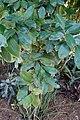 Eugenia brasiliensis - Naples Botanical Garden - Naples, Florida - DSC09653.jpg