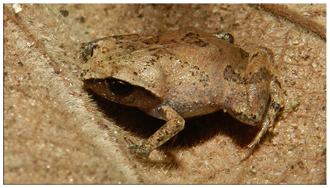 Euparkerella - Euparkerella brasiliensis