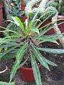 Euphorbia (6323560569).jpg