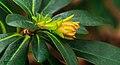 Euphorbia amygdaloides var. robbiae. Locatie Jonkersvallei 01.jpg