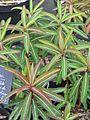 Euphorbia donii Amjilassa (13543692283).jpg