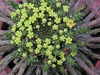 Euphorbia flanaganii 1