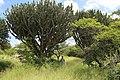 Euphorbia ingens (Euphorbiaceae) (33572049028).jpg