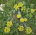 Euphorbia myrsinites in Pindus.jpg