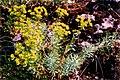 Euphorbia seguieriana 1.jpg