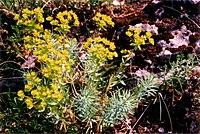 Euphorbia seguieriana 1