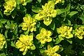 Euphorbia verrucosa (Warzen-Wolfsmilch) IMG 7912.JPG