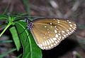 Euploea core adult sec.jpg