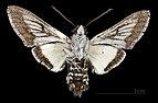 Euproserpinus phaeton MHT CUT 2010 0 11 Bautista Canyon Hemet California ventral.jpg