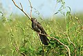Eurasian Cuckoo Cuculus canorus by Vedant Raju Kasambe DSC 5558 (7).jpg