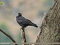 Eurasian Jackdaw (Corvus monedula) (44910884522).jpg