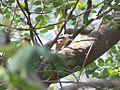Eurasian nuthatch (Sitta europaea)-01.jpg
