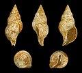 Euthria cornea fossil 01.JPG
