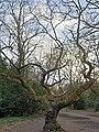 Fagales - Quercus robur - 52.jpg
