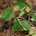 Fagus crenata in Mount Ryozen 2011-06-04.jpg