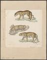 Felis pardus - 1834 - Print - Iconographia Zoologica - Special Collections University of Amsterdam - UBA01 IZ22100230.tif