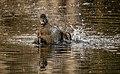 "Female ring-necked duck having a splash. - Flickr - island deborah- New Book ""Song of the Sparrow"" vig.jpg"
